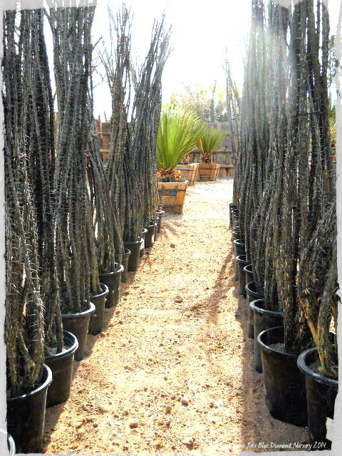 Ocotillo Plants at Cactus Joe's Blue Diamond Nursery Las Vegas
