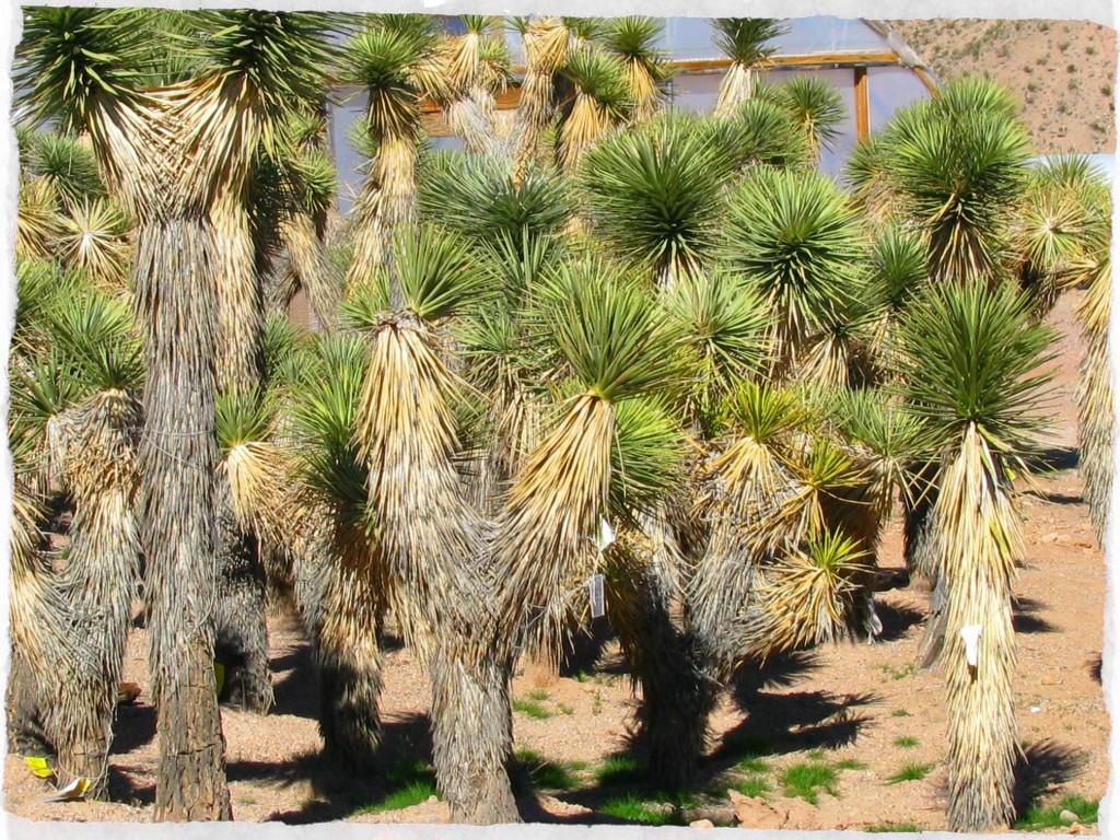 Yucca brevifolia at Cactus Joe's Blue Diamond Nursery