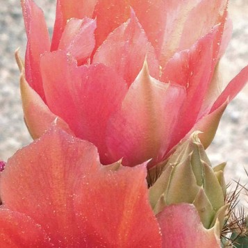 Close Prickly Pear Peach Bloom Cactus Joe's Blue Diamond Nursery Las Vegas