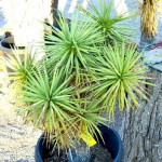 Joshua Tree - Small at Cactus Joe's Blue Diamond Nursery