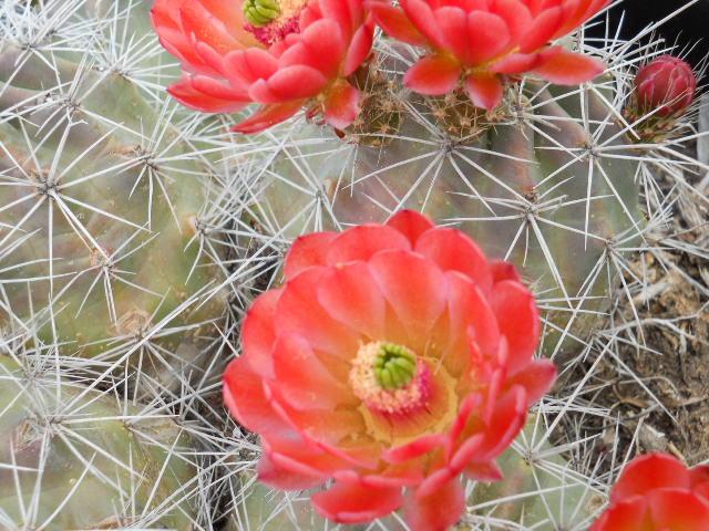 Cactus Joe S Blue Diamond Nursery Blue Diamond Nv