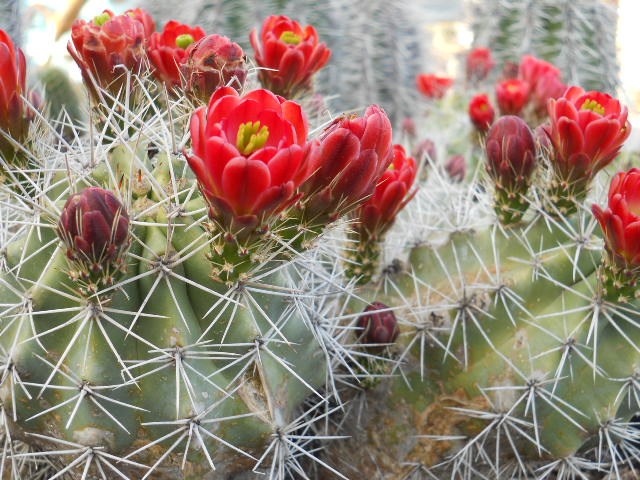 Claret Cup Hedgehog In Bloom Cactus Joe S Las Vegas Nursery