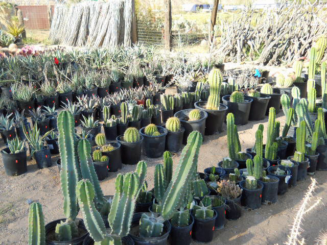 Red Tag Plants 3 Cactus Joe S Blue