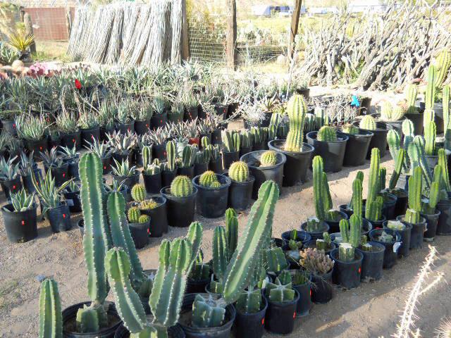 Red Tag Plants 3 Cactus Joe S Blue Diamond Nursery