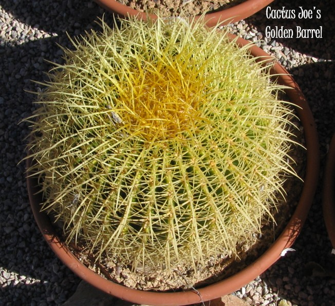 Golden Barrel Cactus Cactus Joe S Las Vegas Nursery