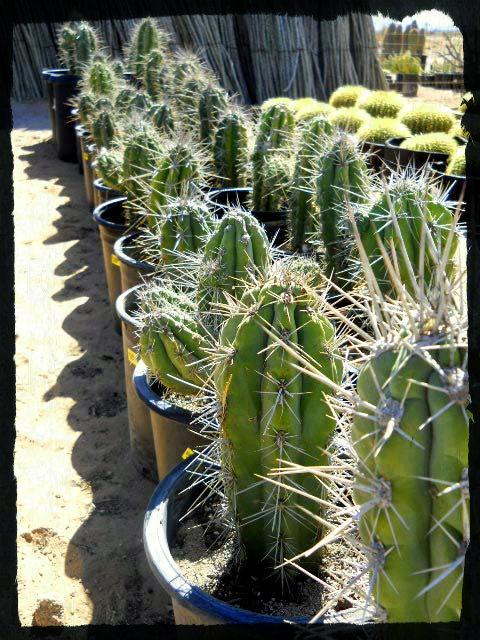 15 gallon argentine toothpick rows cactus joe s cactus for Cactus argentina