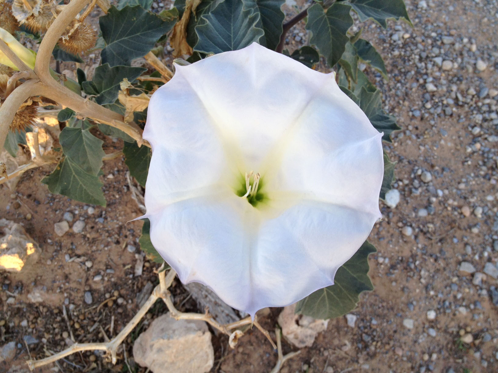 Datura wrightii at Cactus Joe's