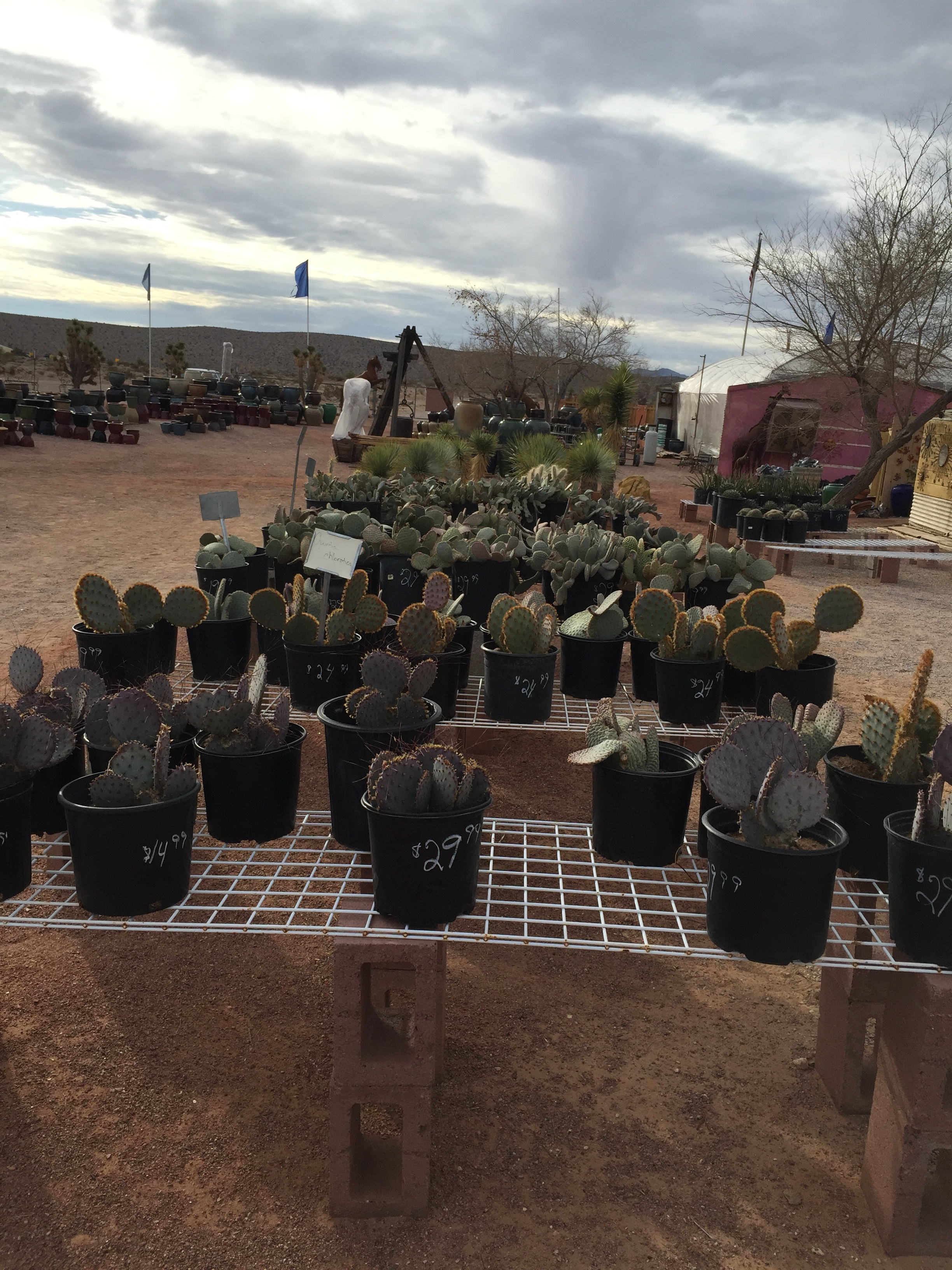 January 2016 Sale Cactus Joe S Las Vegas Nursery