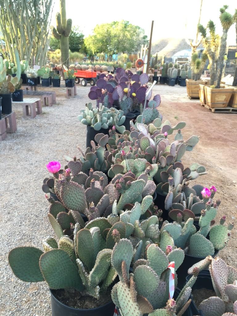 May 2016 Sale Cactus Joe S Las Vegas Nursery